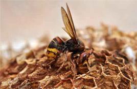 destruction nids de gu pes et de frelons caen bayeux et. Black Bedroom Furniture Sets. Home Design Ideas